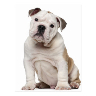 English bulldog puppy (2 months old) postcard