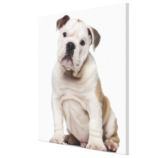 English bulldog puppy (2 months old) stretched canvas print