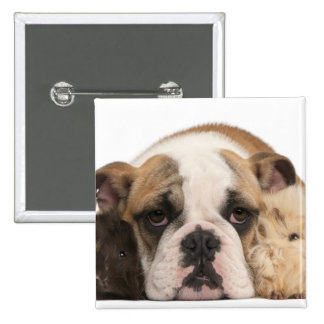 english bulldog puppy (4 months old) and two 2 inch square button