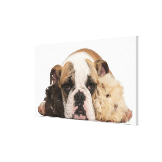 english bulldog puppy (4 months old) and two stretched canvas print
