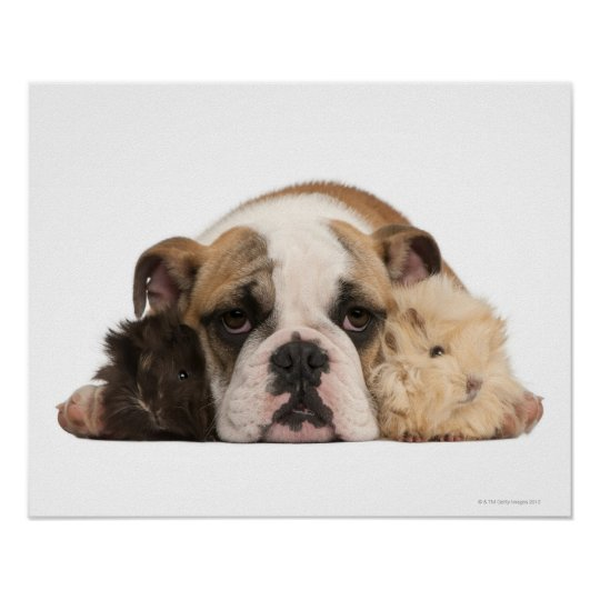English bulldog puppy (4 months old) and two poster