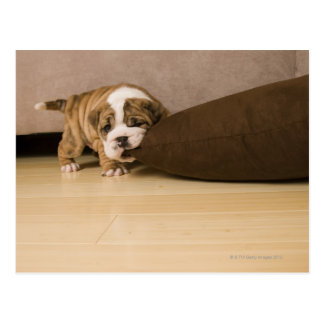 English Bulldog puppy biting pillow Postcard