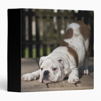 English bulldog puppy stretching down. 3 ring binders