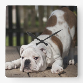 English bulldog puppy stretching down. square wall clock