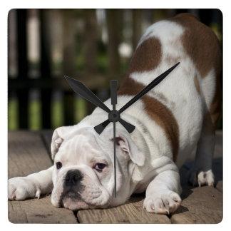 English bulldog puppy stretching down. wallclocks