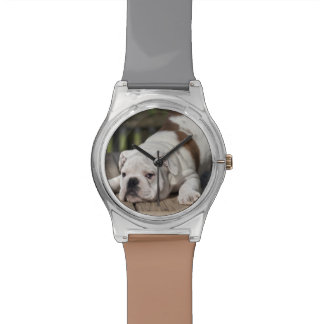 English bulldog puppy stretching down. wrist watch