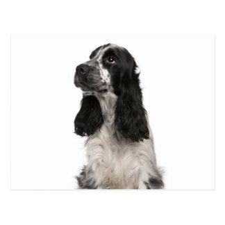 English cocker spaniel postcard
