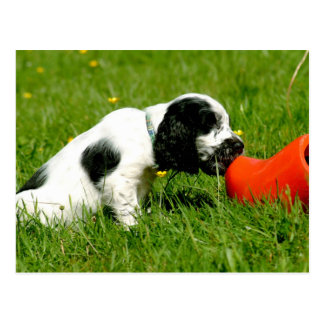 English Cocker Spaniel Puppy with Red Clog Postcard