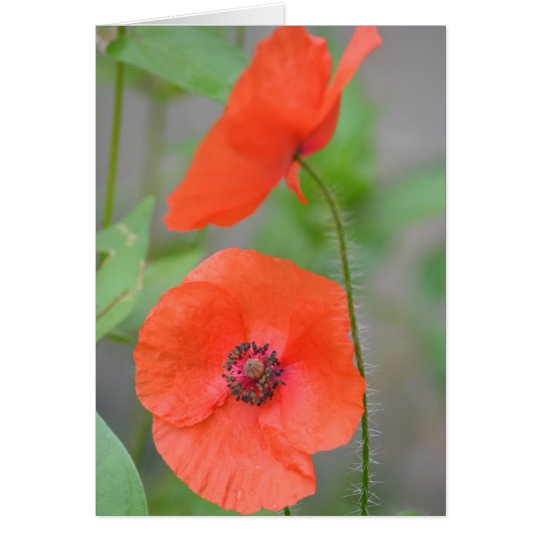 English Field Poppies Card