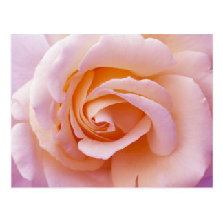 English Garden Peach and Pink Rose Postcard