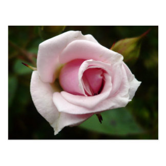 English Rose Postcard