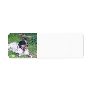English Setter full laying