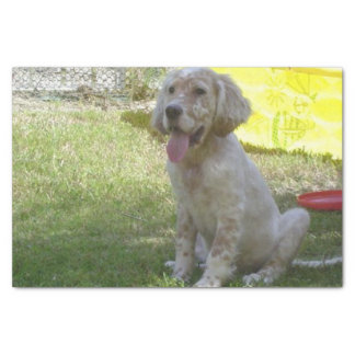 english setter orange_belton_puppy tissue paper