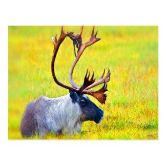 enjoy peace calm caribou wildlife postcard