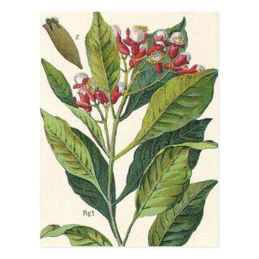 Épices vintages d'herbes de nourriture, botanique  carte postale