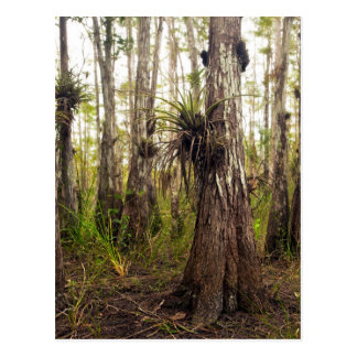 Epiphyte Bromeliad in Florida Forest Postcard