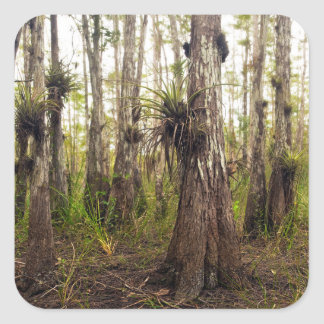 Epiphyte Bromeliad in Florida Forest Square Sticker