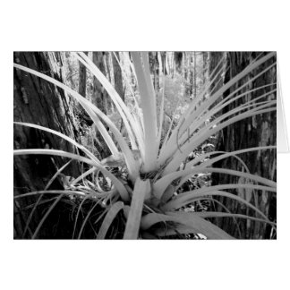 Epiphytic tillandsia are common in the Florida, Card