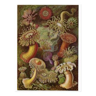 Ernst Haeckel Art Postcard: Actiniae Postcard