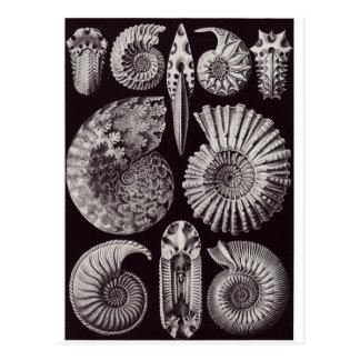 Ernst Haeckel Art Postcard: Ammonitida Postcard