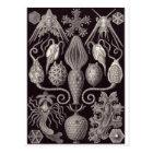 Ernst Haeckel Art Postcard: Amphoridea Postcard