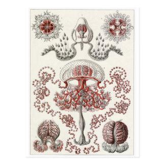 Ernst Haeckel Art Postcard: Anthomedusae Postcard