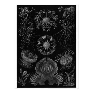 Ernst Haeckel Art Postcard: Ascomycetes Postcard