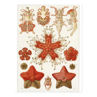 Ernst Haeckel Art Postcard: Asteridea Postcard