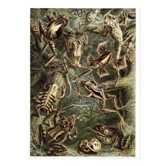 Ernst Haeckel Art Postcard: Batrachia Postcard