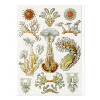 Ernst Haeckel Art Postcard: Bryozoa Postcard