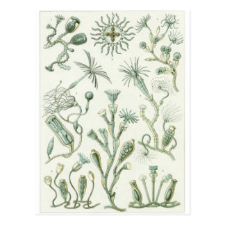 Ernst Haeckel Art Postcard: Campanariae Postcard