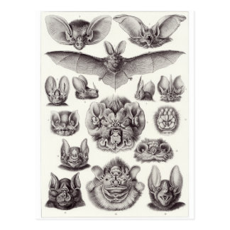 Ernst Haeckel Art Postcard: Chiroptera Postcard