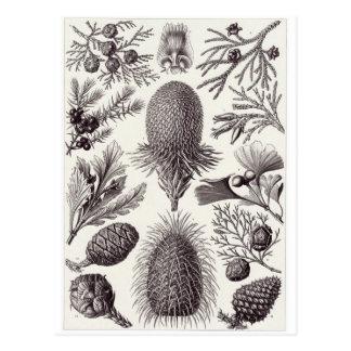 Ernst Haeckel Art Postcard: Coniferae Postcard
