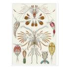 Ernst Haeckel Art Postcard: Copepoda Postcard