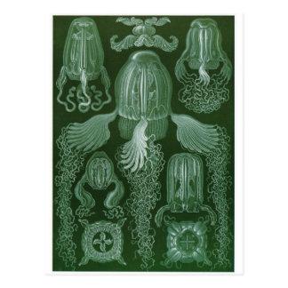 Ernst Haeckel Art Postcard: Cubomedusae Postcard