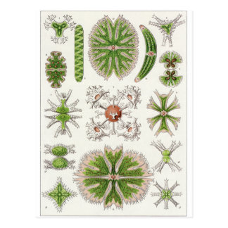 Ernst Haeckel Art Postcard: Desmidiea Postcard