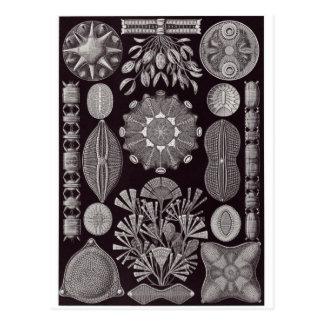 Ernst Haeckel Art Postcard: Diatomea Postcard