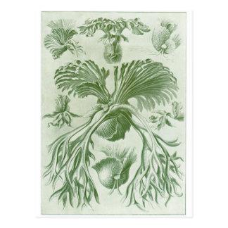 Ernst Haeckel Art Postcard: Filicinae Postcard