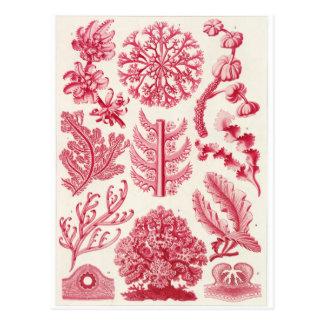 Ernst Haeckel Art Postcard: Florideae Postcard