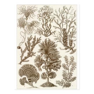 Ernst Haeckel Art Postcard: Fucoideae Postcard