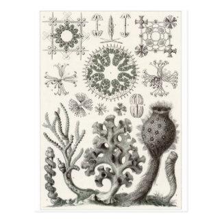 Ernst Haeckel Art Postcard: Hexactinellae Postcard