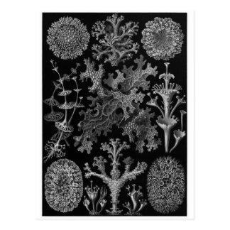 Ernst Haeckel Art Postcard: Lichenes Postcard