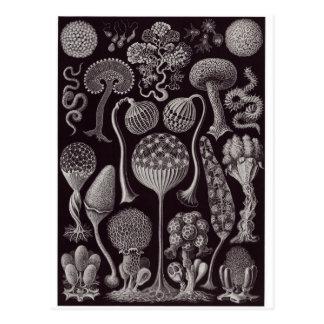 Ernst Haeckel Art Postcard: Mycetozoa Postcard