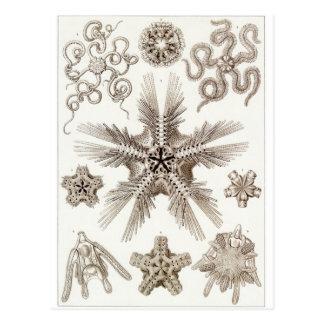 Ernst Haeckel Art Postcard: Ophiodea Postcard