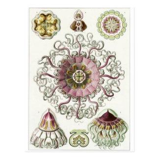 Ernst Haeckel Art Postcard: Peromedusae Postcard