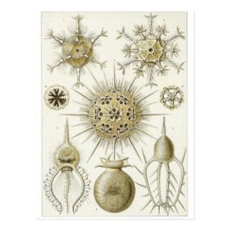 Ernst Haeckel Art Postcard: Phaeodaria Postcard