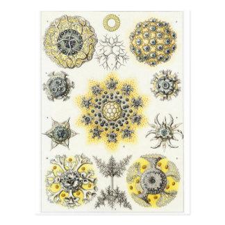 Ernst Haeckel Art Postcard: Polycyttaria Postcard
