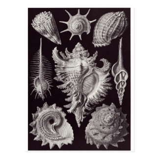 Ernst Haeckel Art Postcard: Prosobranchia Postcard