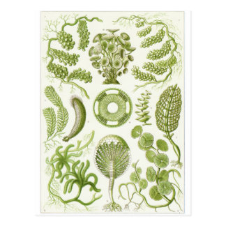Ernst Haeckel Art Postcard: Siphoneae Postcard