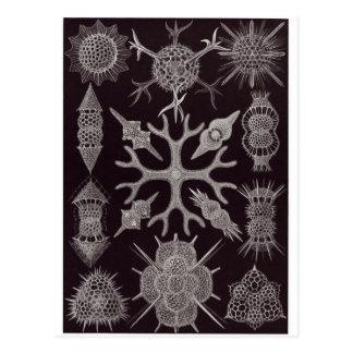 Ernst Haeckel Art Postcard: Spumellaria Postcard